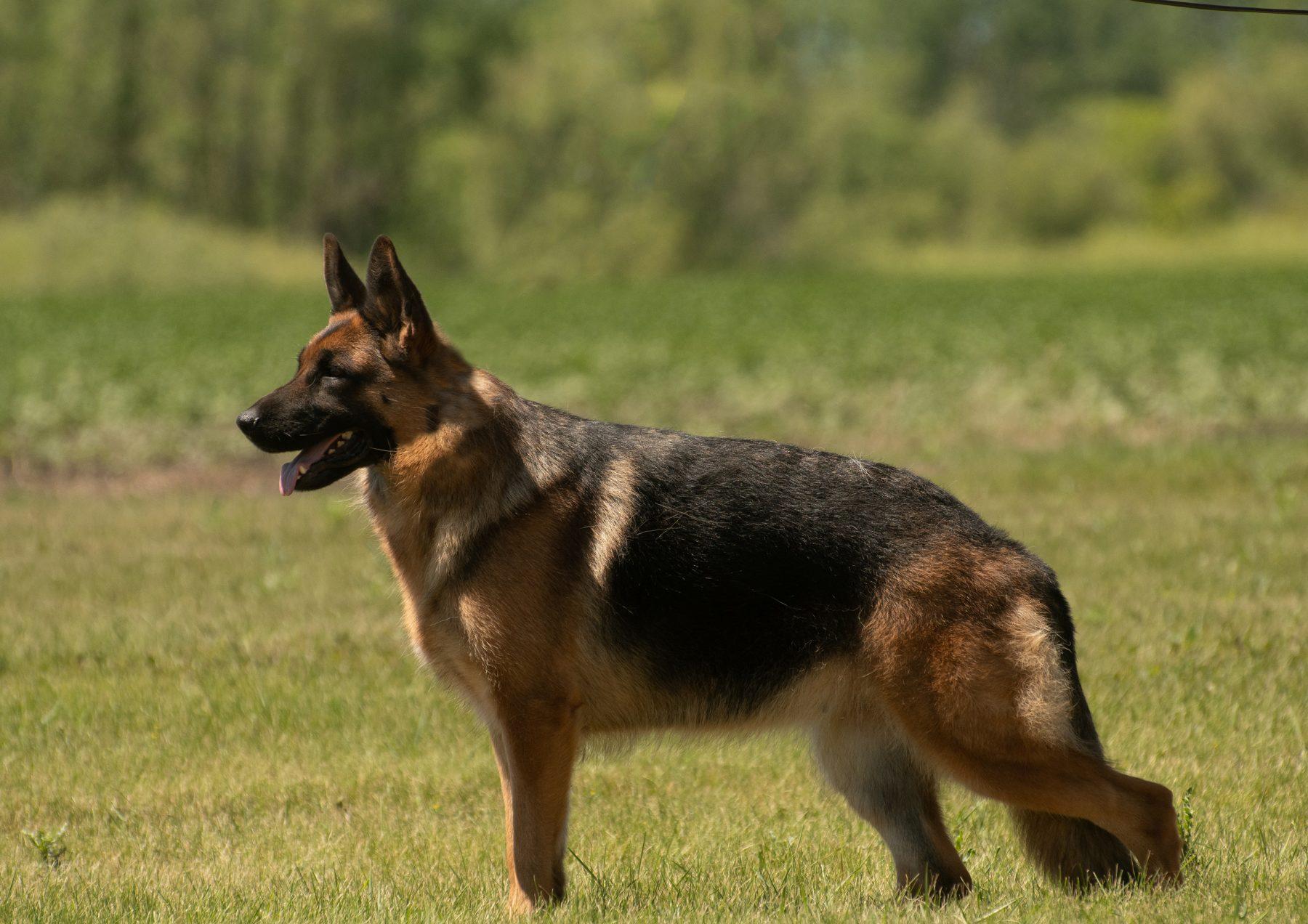 Prairieside German Shepherds